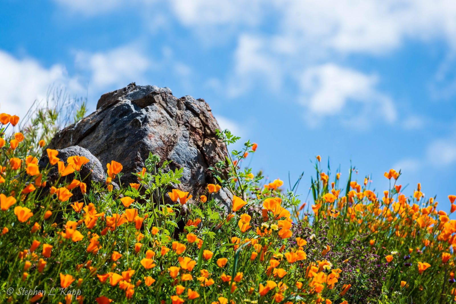 California Orange Poppies & Blue Sky