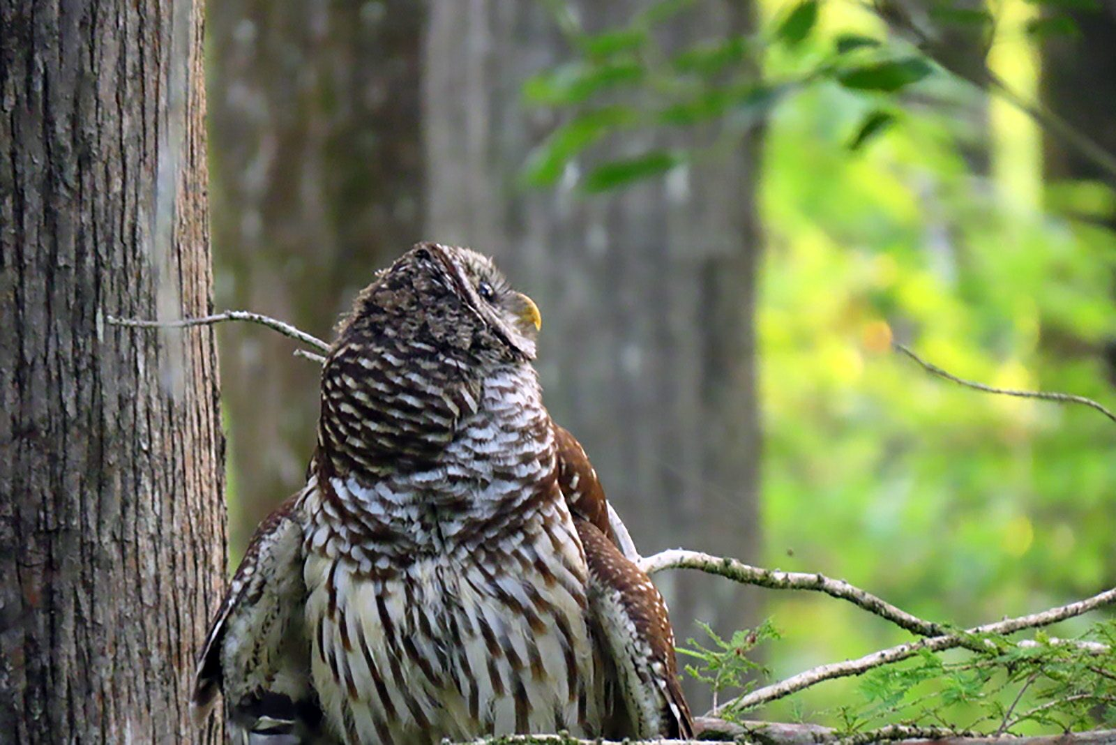 Young Barred Owl Searching for Mom