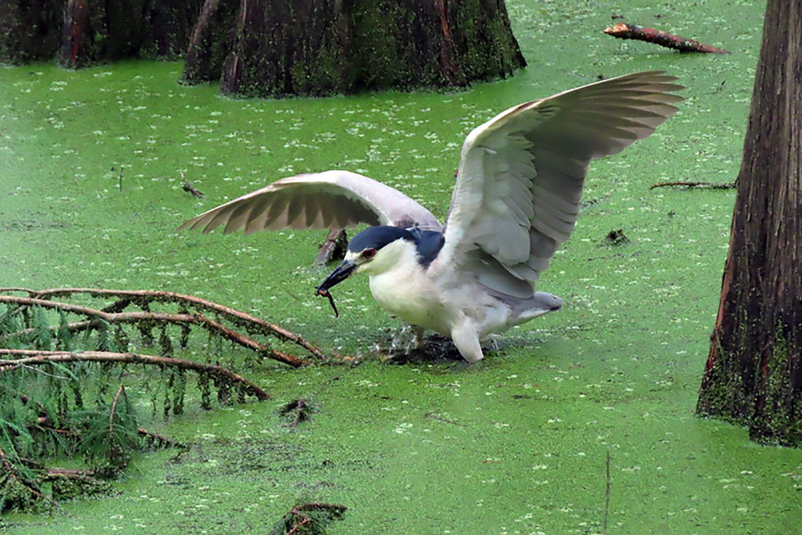 Black-Crowned Night Heron with a Mud-Puppy