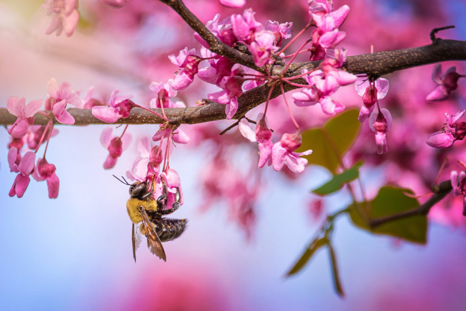 The Bee and the Redbud