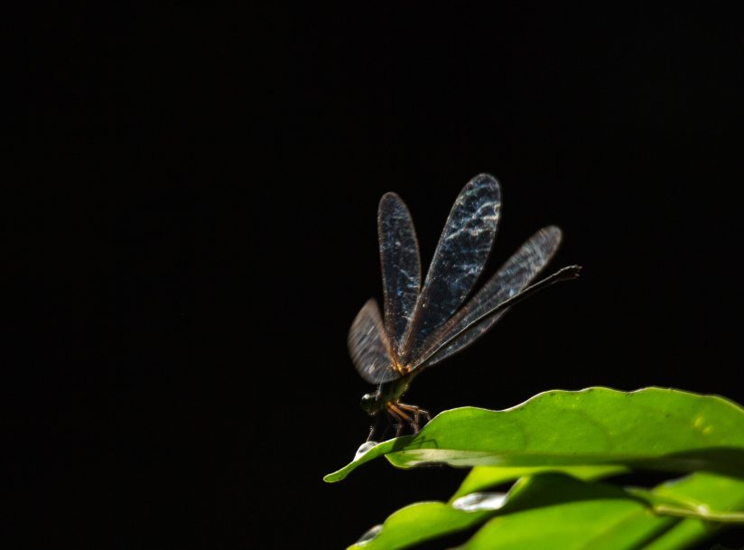 Damselfly in the spotlight