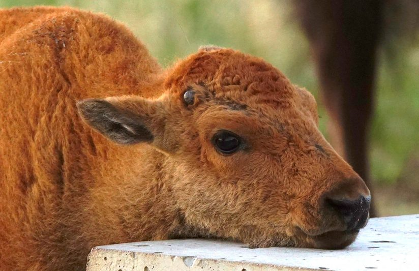 Bison Baby Face