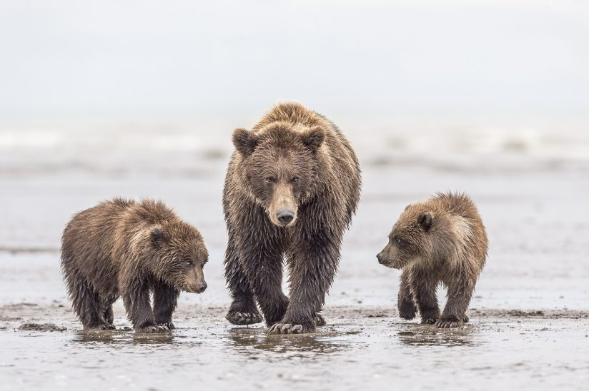 Mamma and Cubs