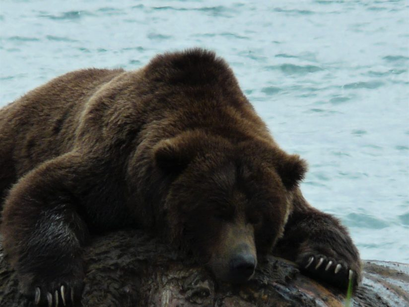 Alpha Bear protecting whale carcass