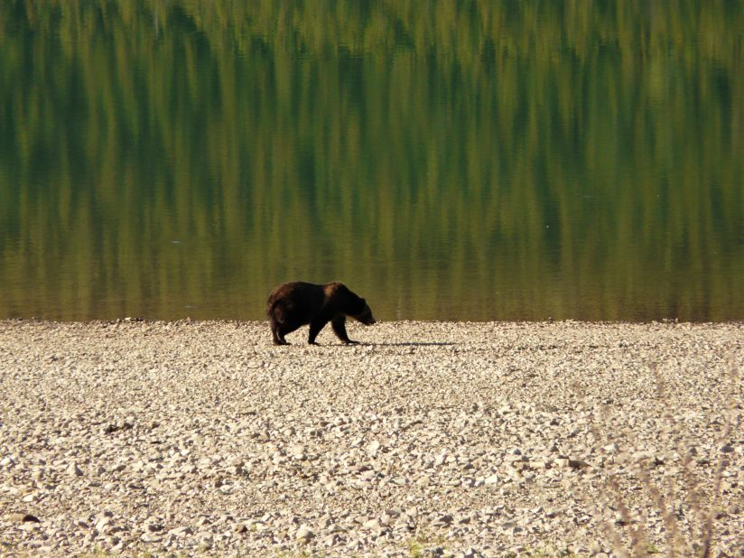 Bear on the shoreline