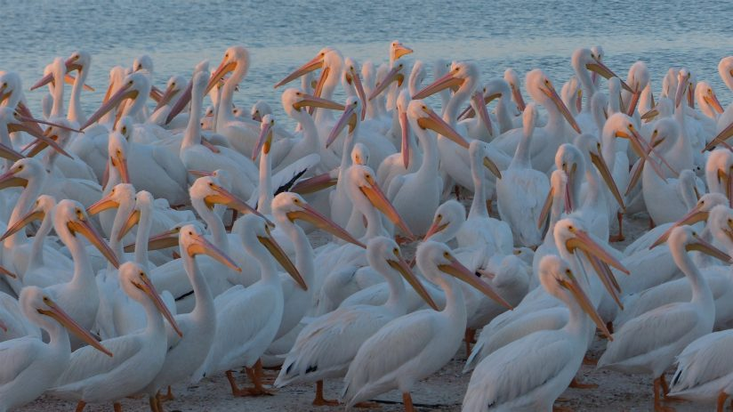 White pelicans at sunset