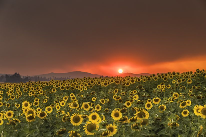 Fiery Sunset over Sunflower Field