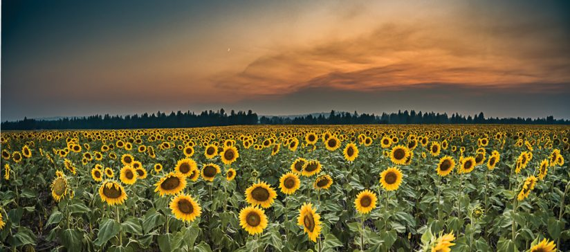 Sunflower Field Sunset