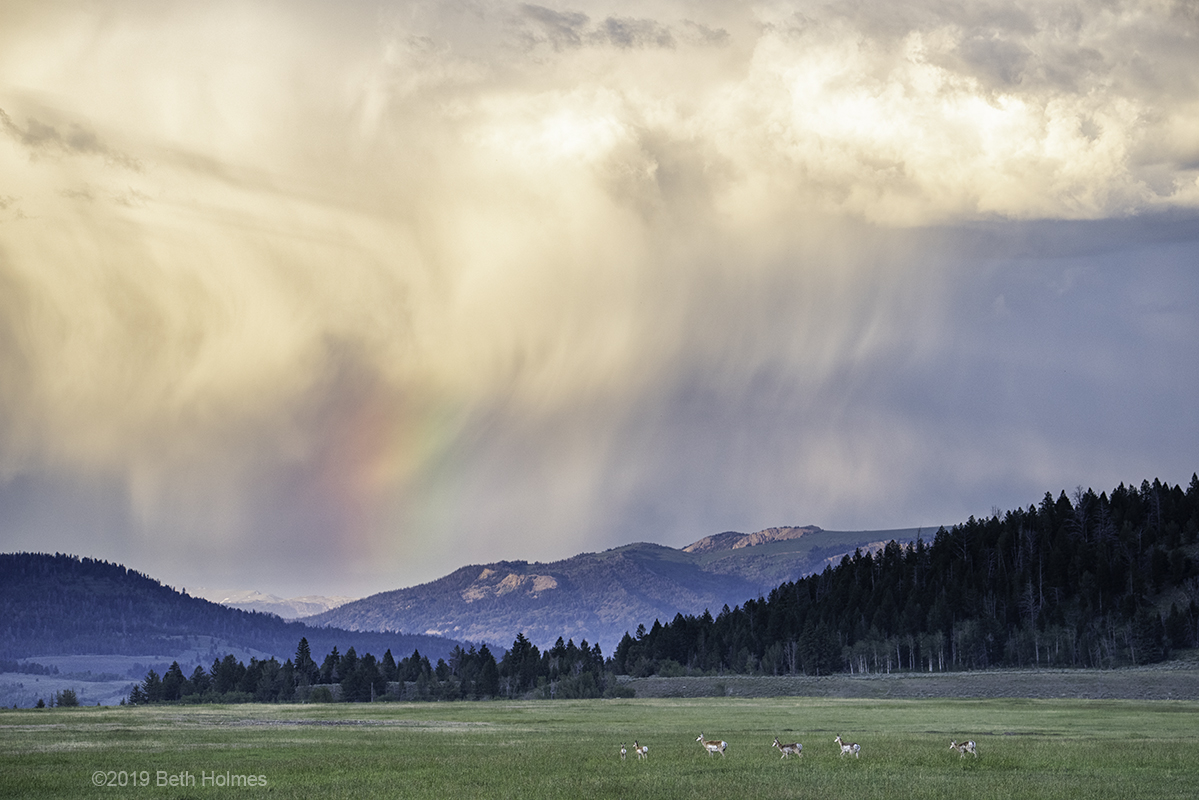 Pronghorn Looking for the Pot of Gold