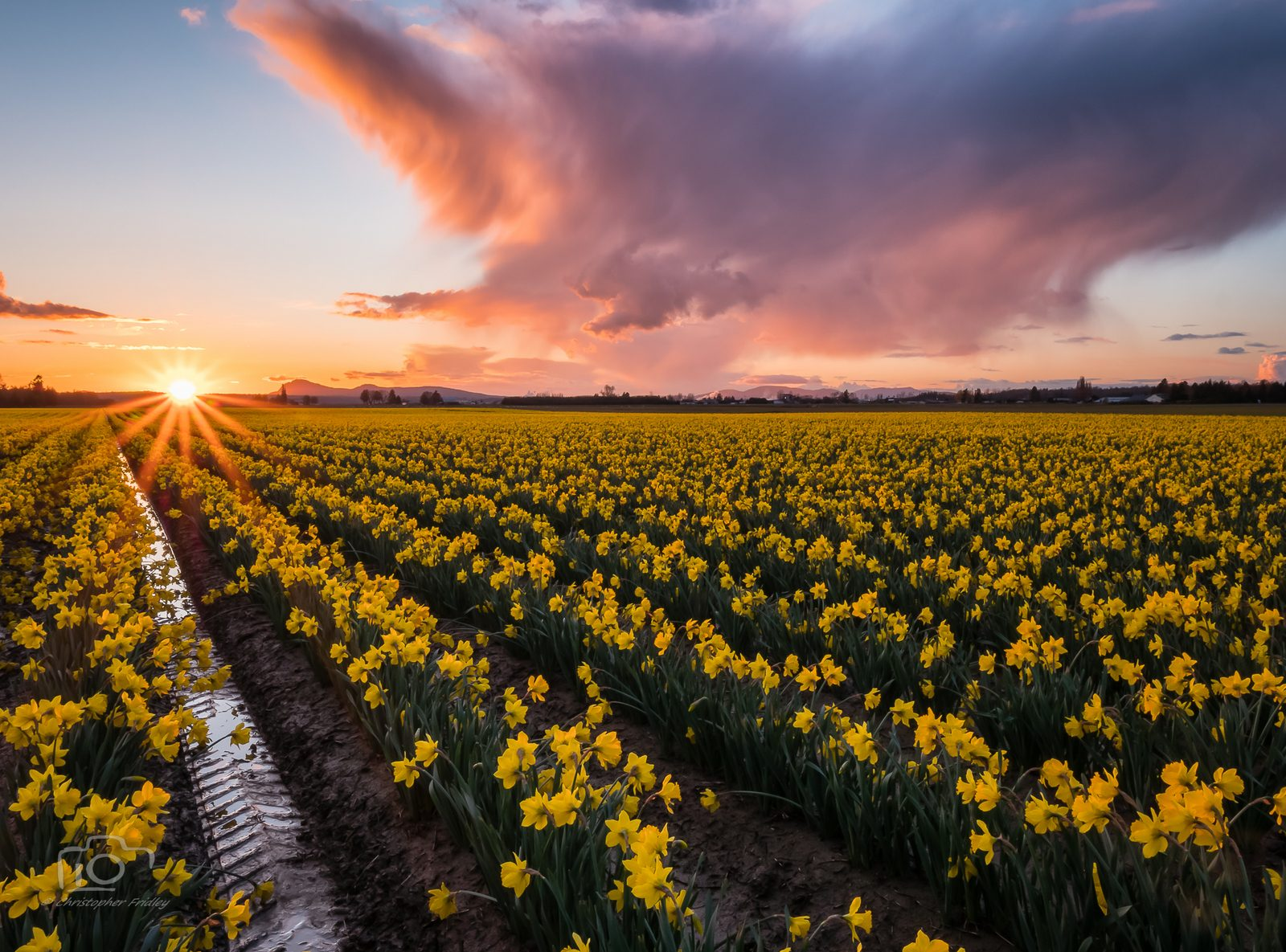 Partly Cloudy Daffodils