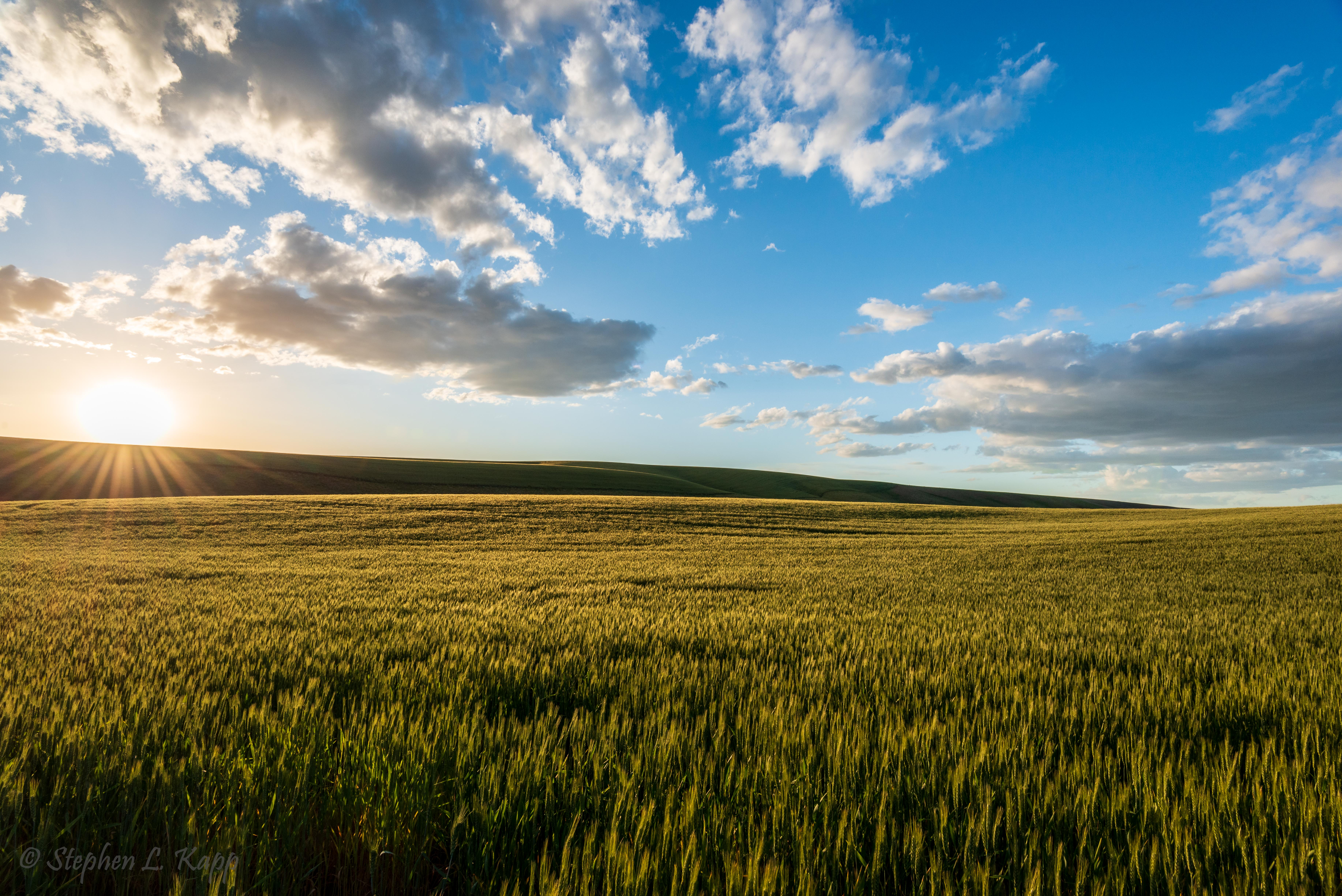 Rolling Wheatfields at the End of the Day