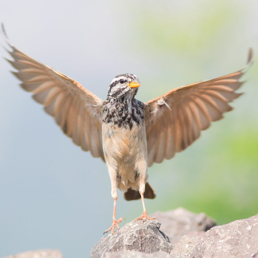 Striolated Bunting Male