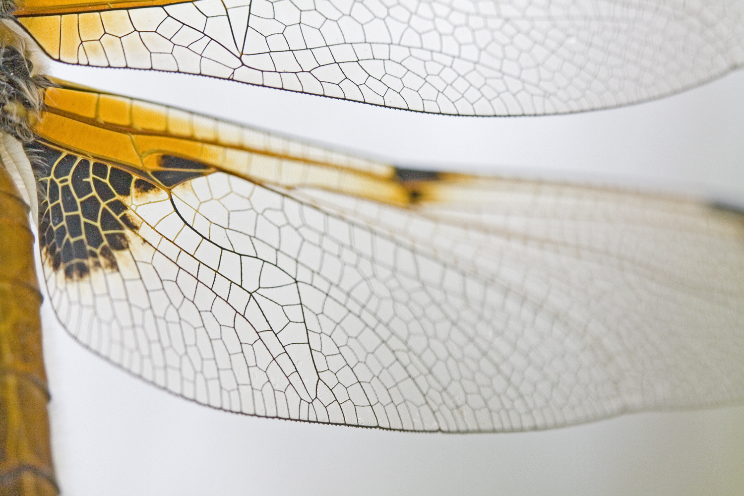 Wing of Four-spotted Chaser, Libellula quadrimaculata