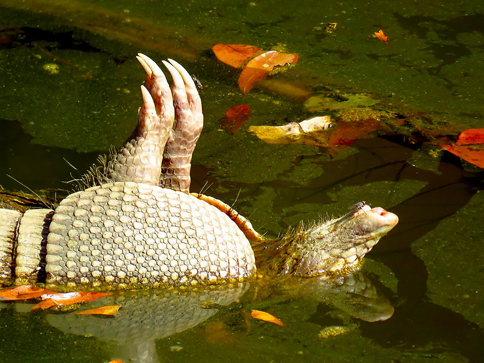 Dead Armadillo, Belly-up in the Lake