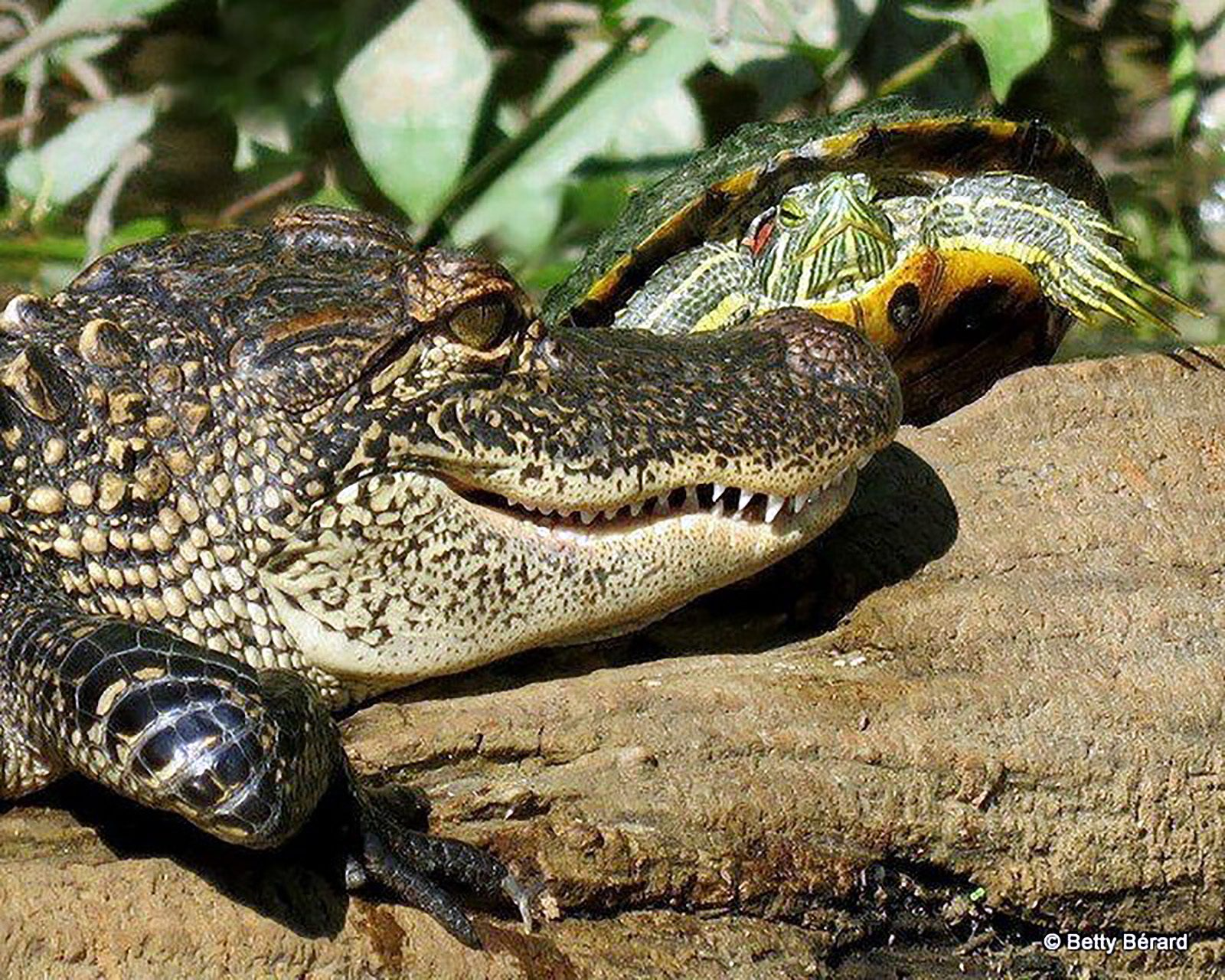 Young Alligator & Turtle Sharing a Log