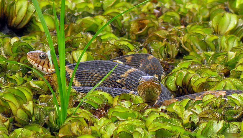 Mating Water-Banded Snakes in Giant Salvinia