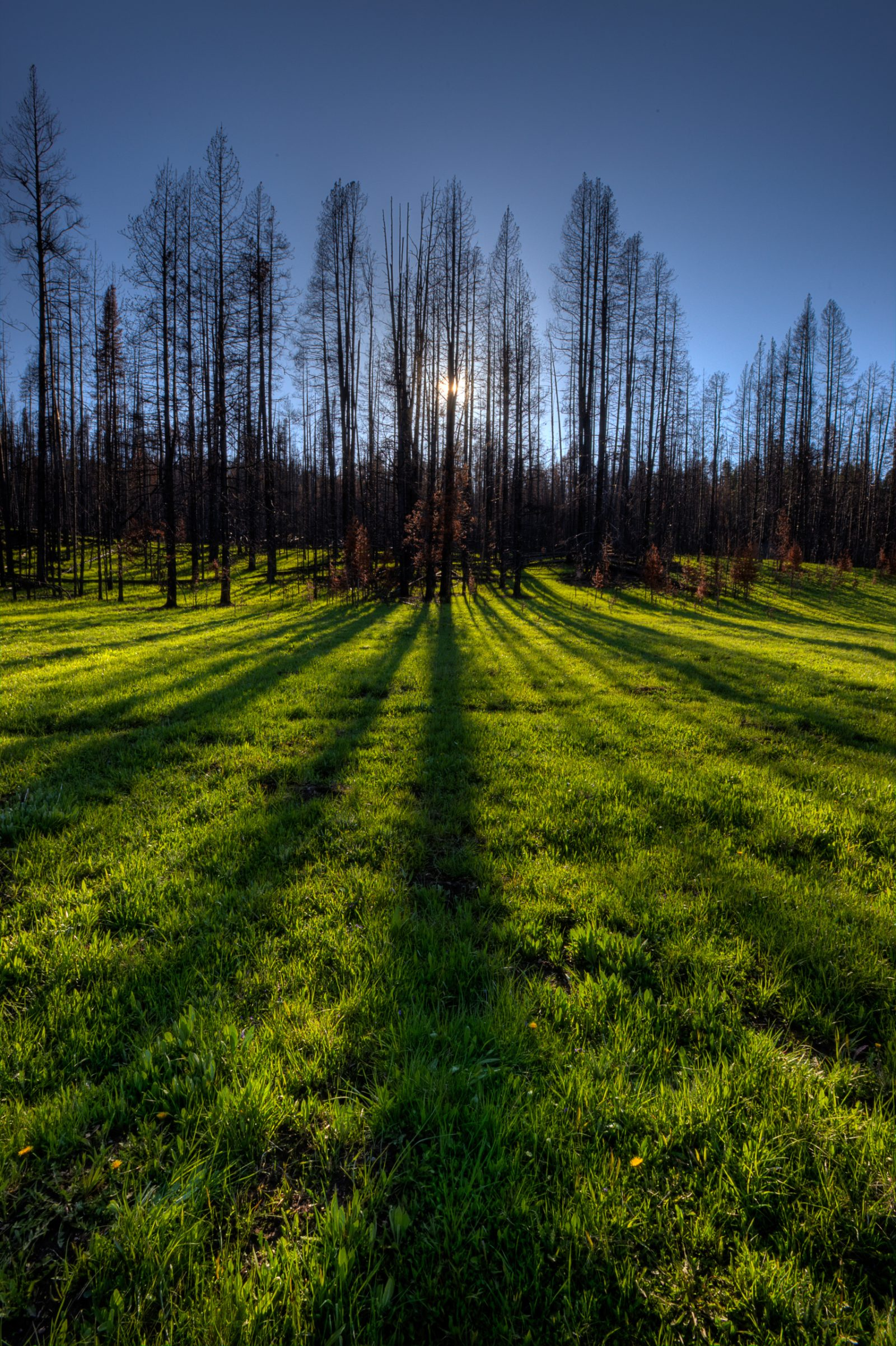 Lodgepole Pine and Shadows in Yellowstone