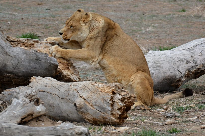 Lioness Sharpening Her Claws