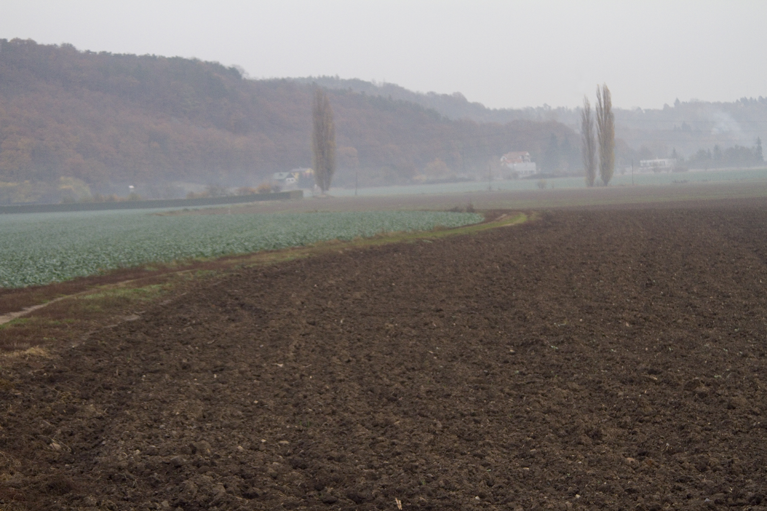 Sugar beet fields and morning fog