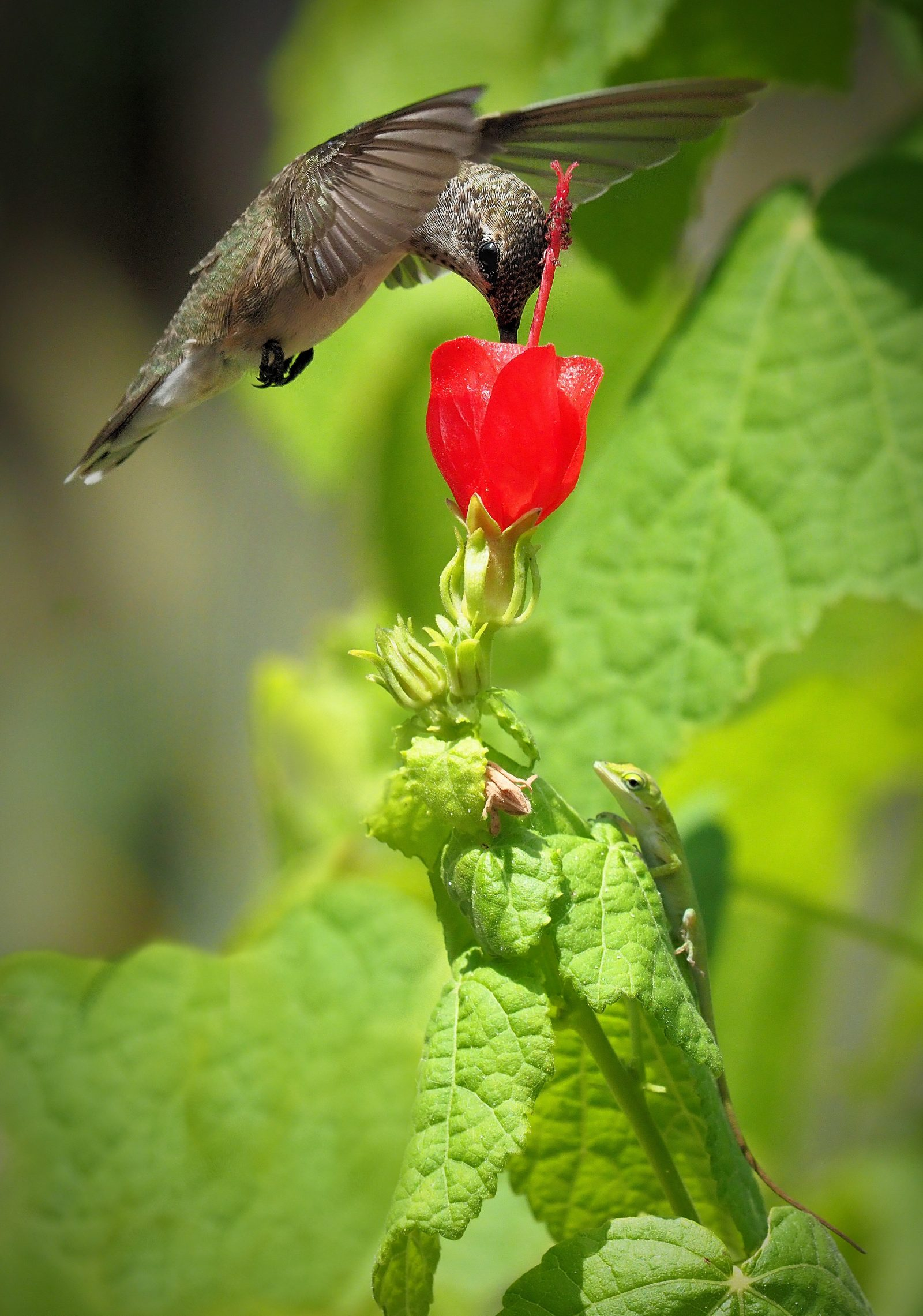 Hummer and Anole