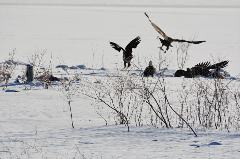 Eagle Feeding Frenzy In Fresh Snow