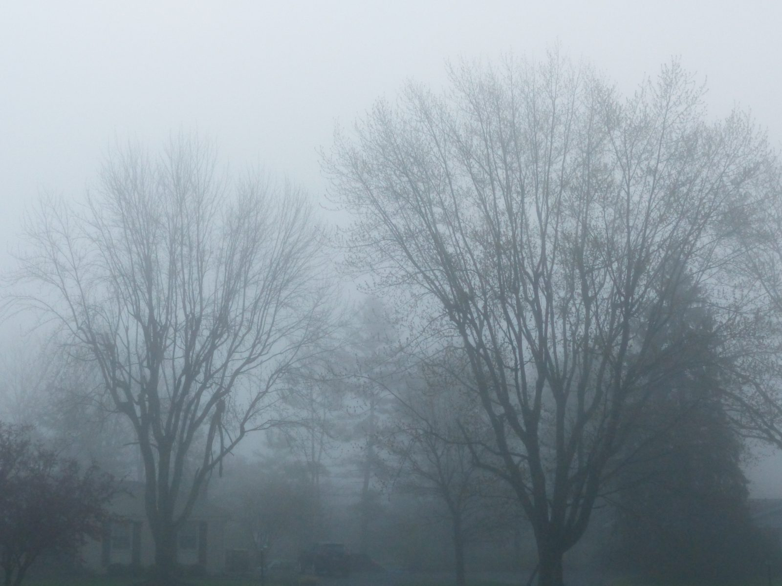Fog-shrouded trees