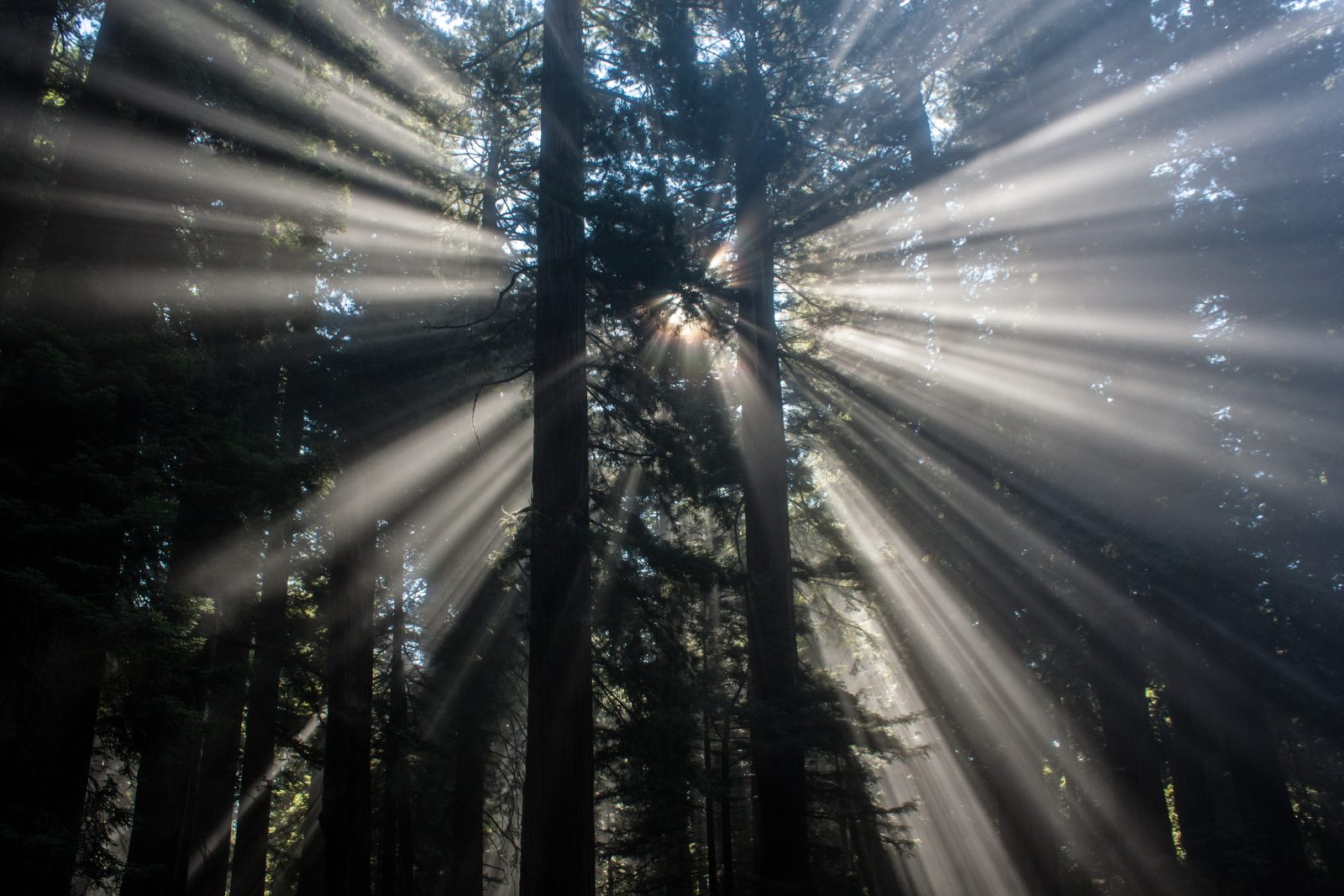 Redwood Trees with Morning Sun Rays