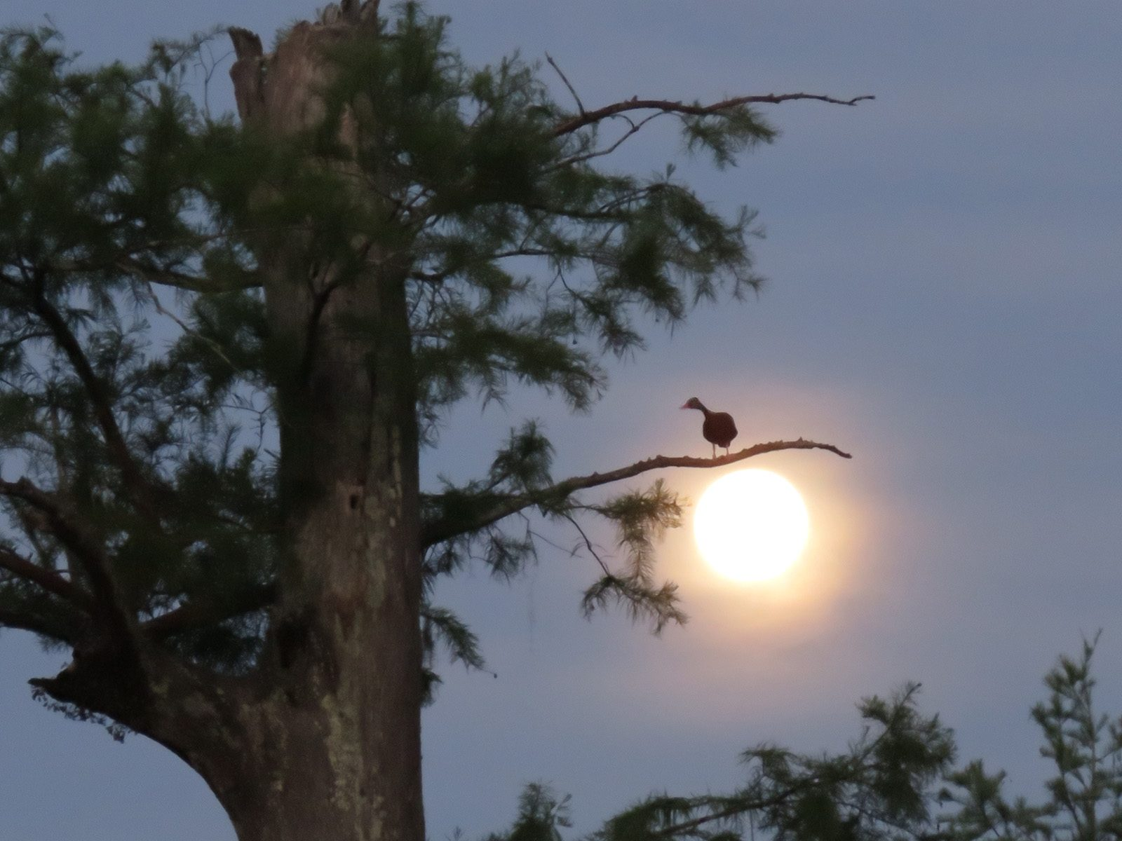 Black-Bellied Whistling Duck on the Moon