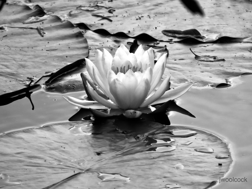 Pond Lily, in b/w