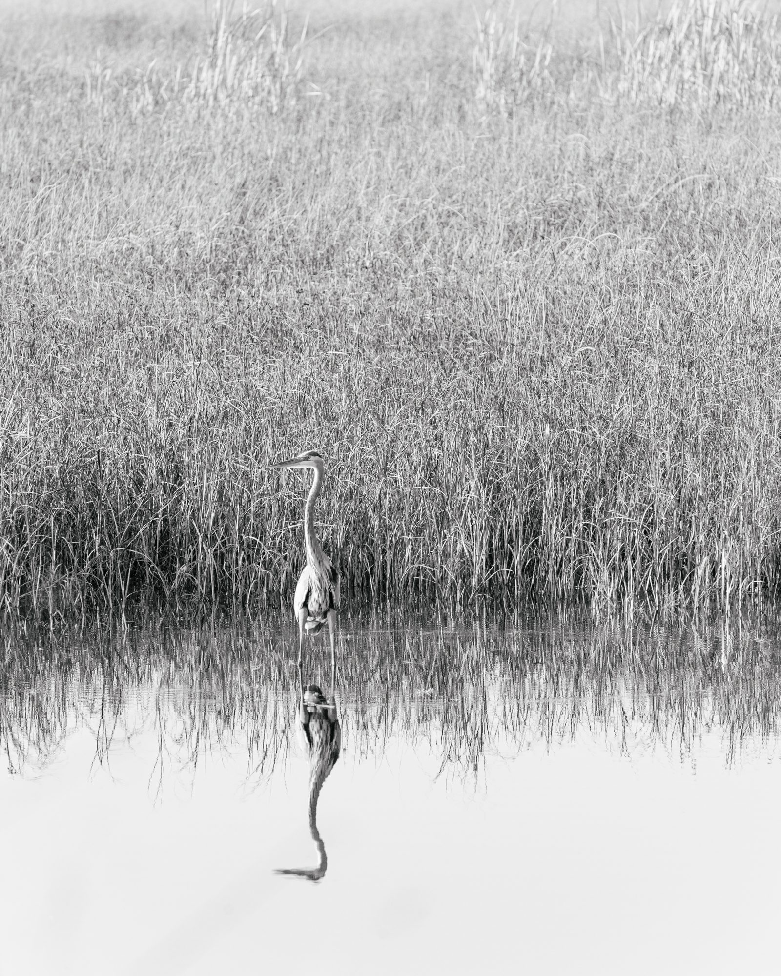 Heron In The Grasses 1