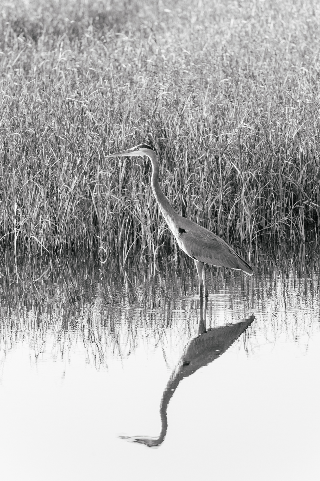 Heron In The Grasses 2