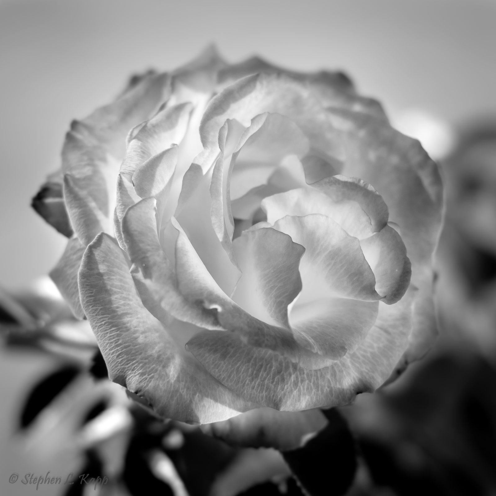 New Year's Day Rose in B&W