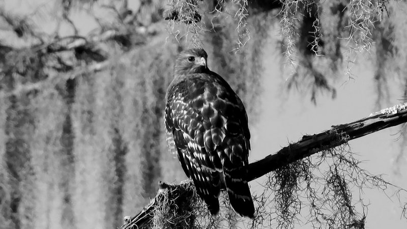 Red-Shouldered Hawk & Spanish Moss