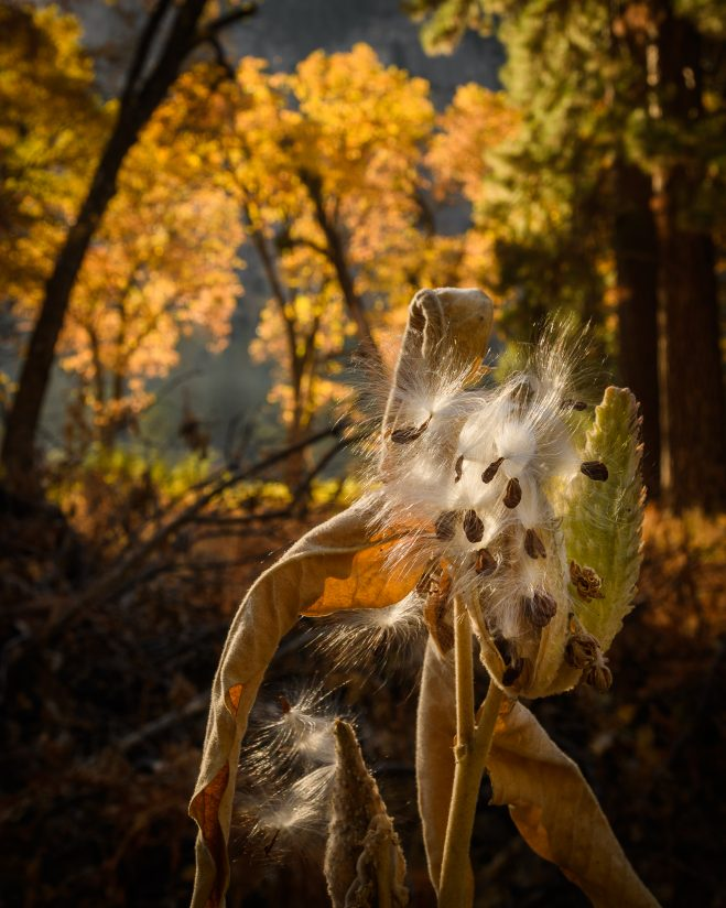 Milkweed and Oaks