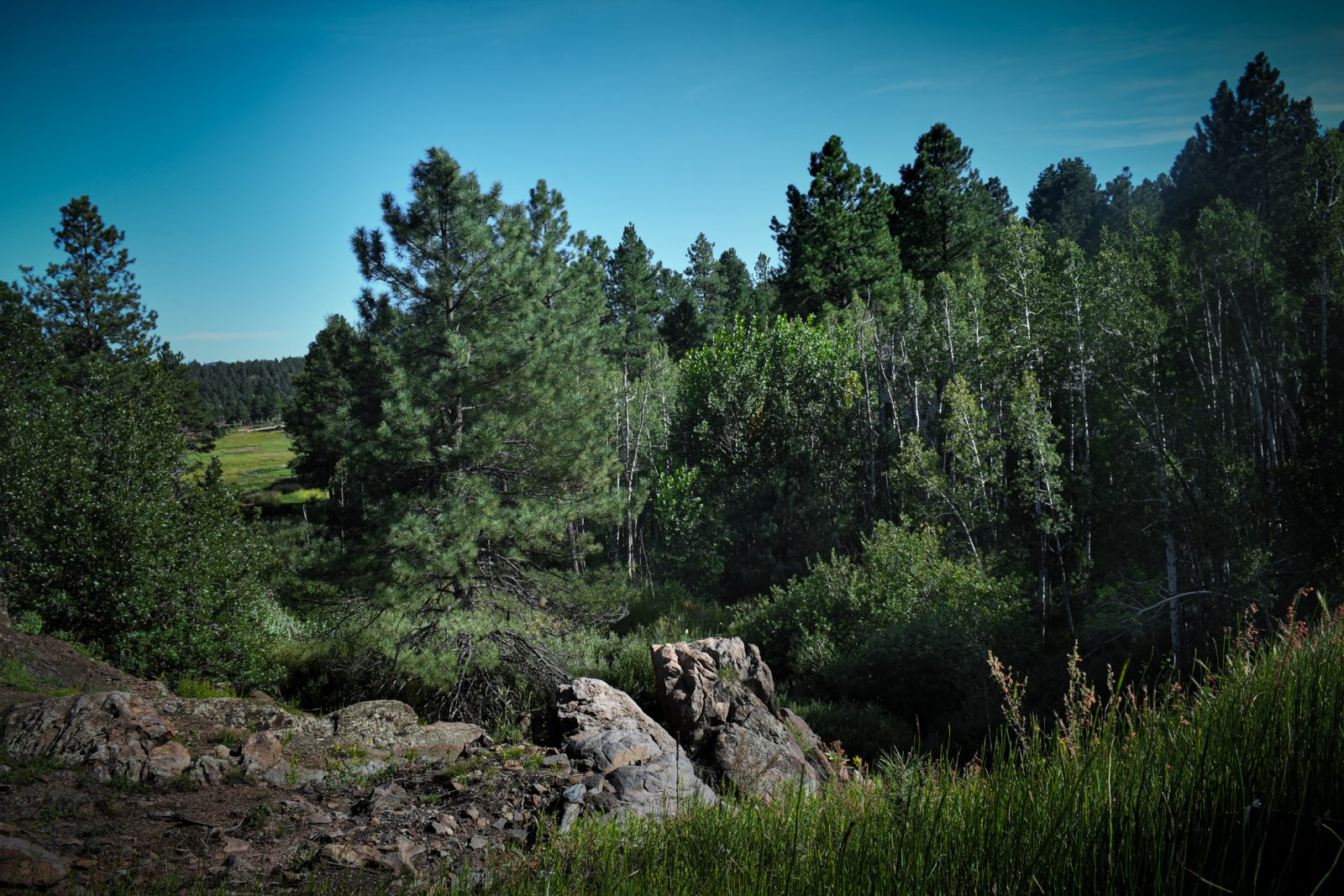 The Ponderosa Pines in Late Afternoon