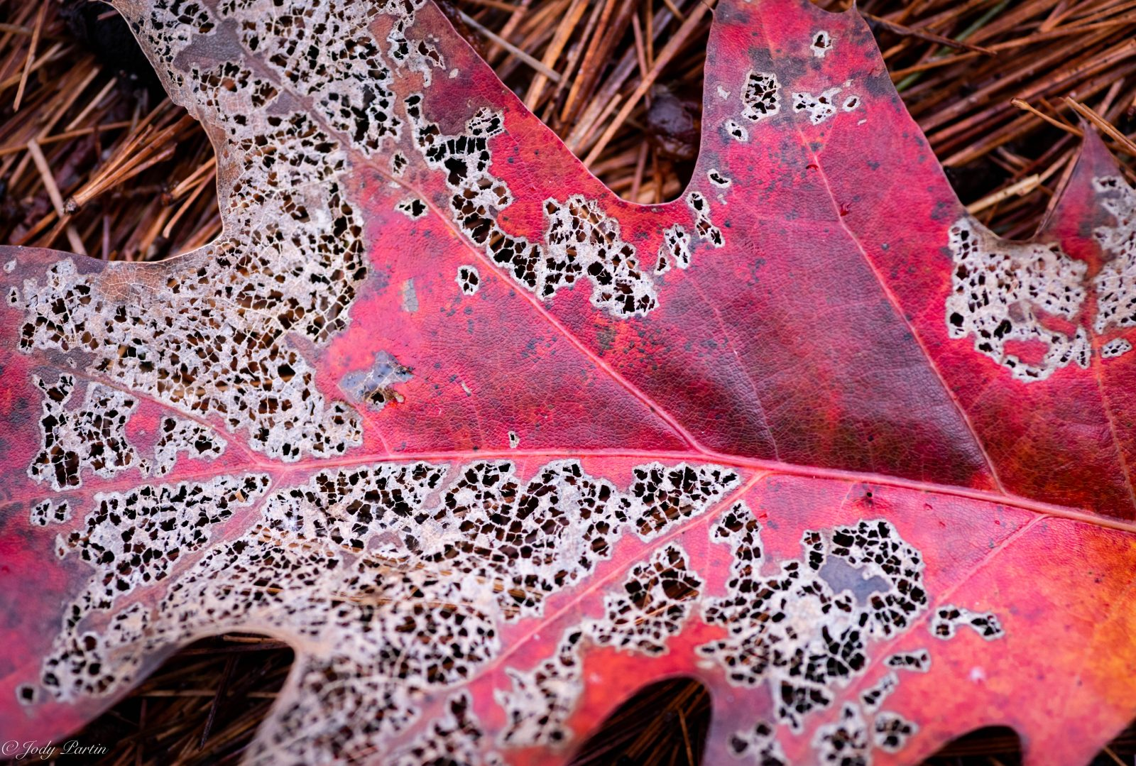 Leaf of Lace