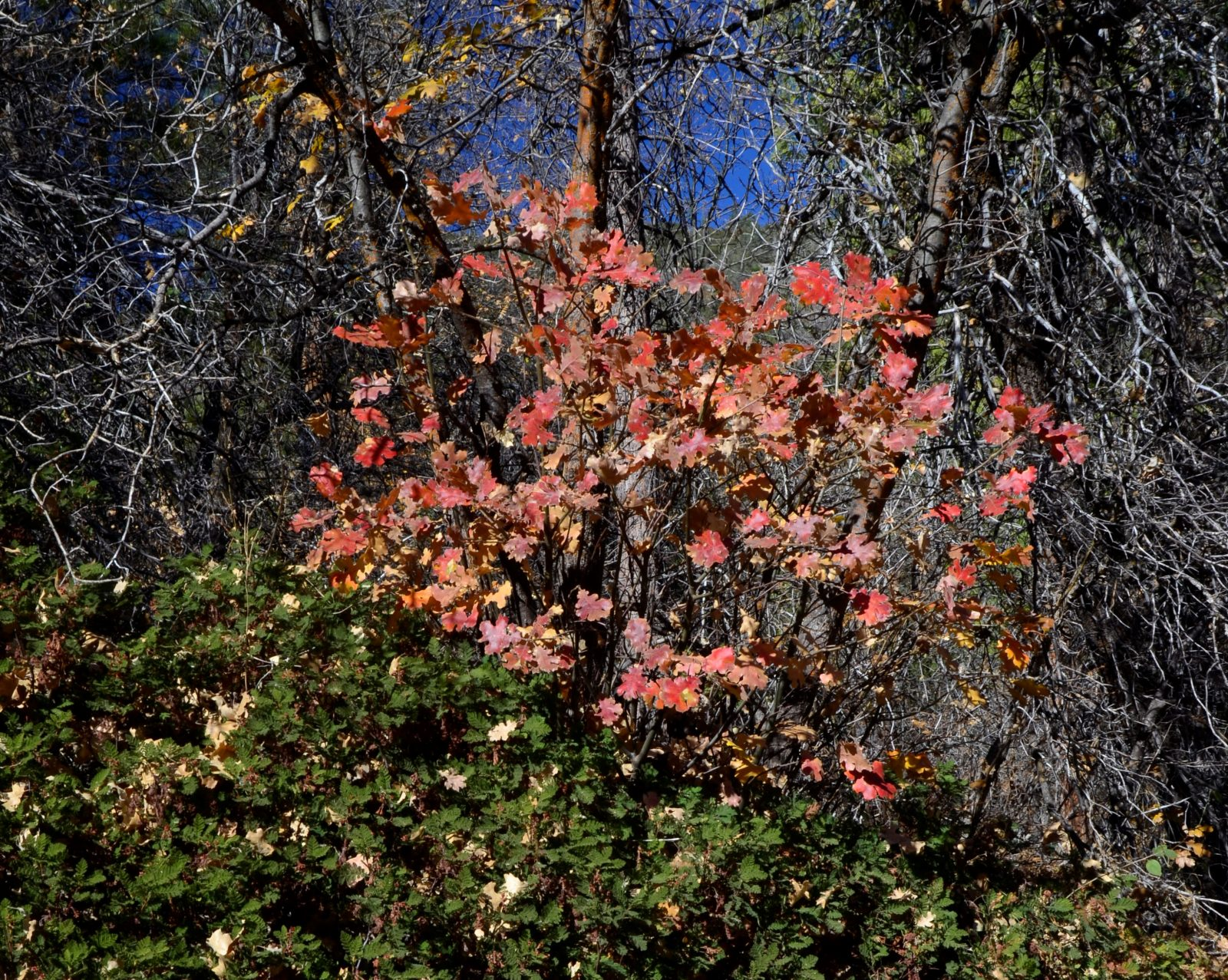 Red Oak Leaves and Mountain Misery