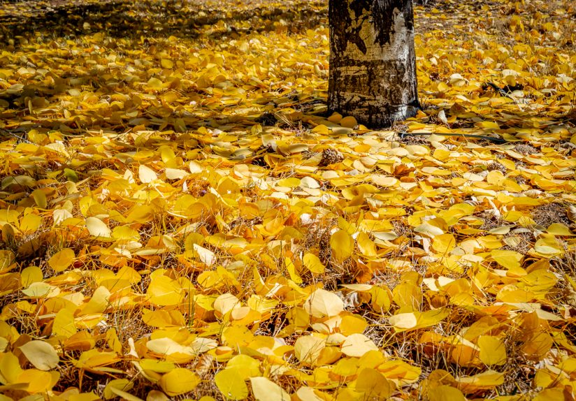 Carpet of Aspen Leaves