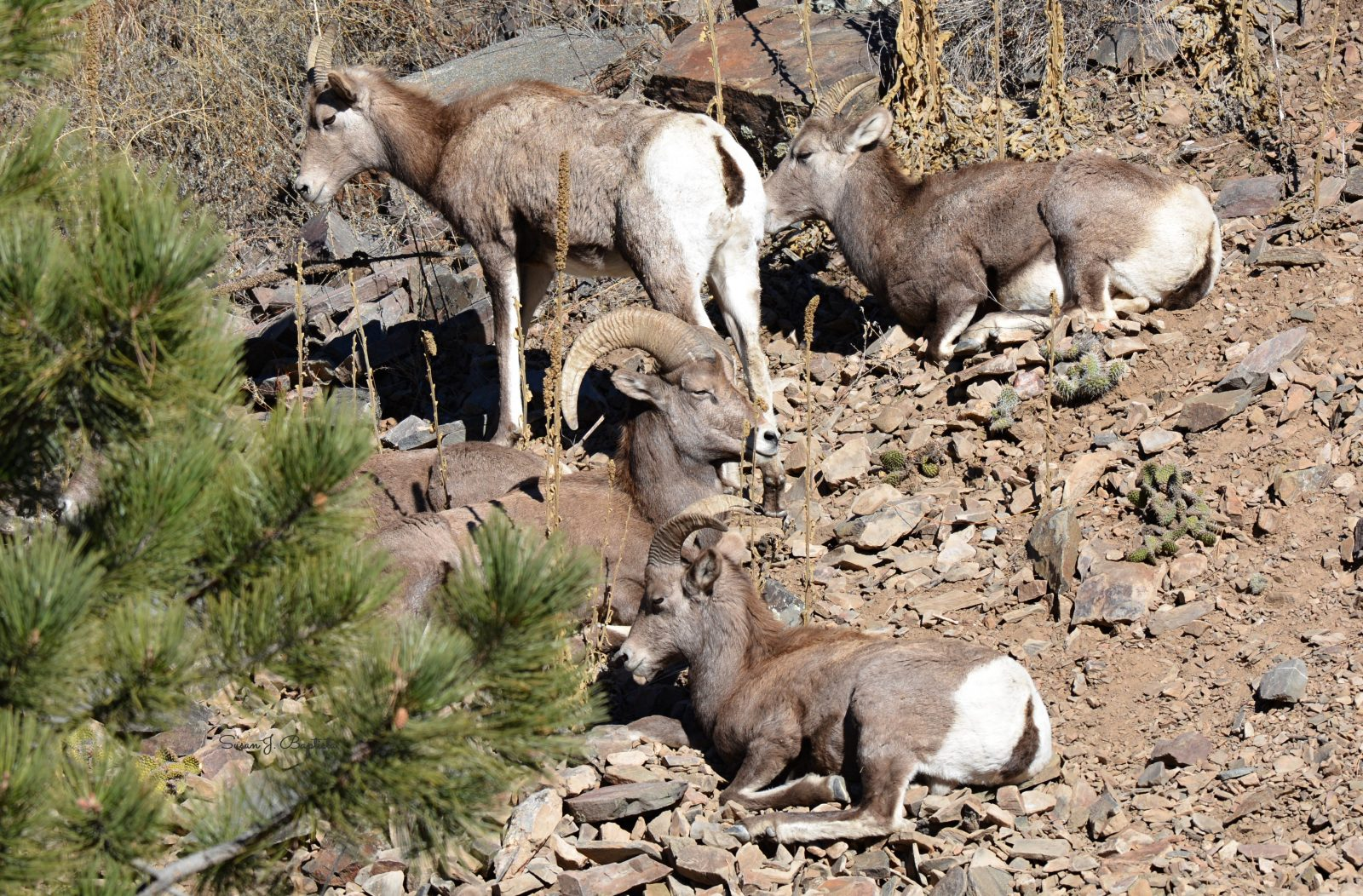 Big Horn Sheep In The Sun