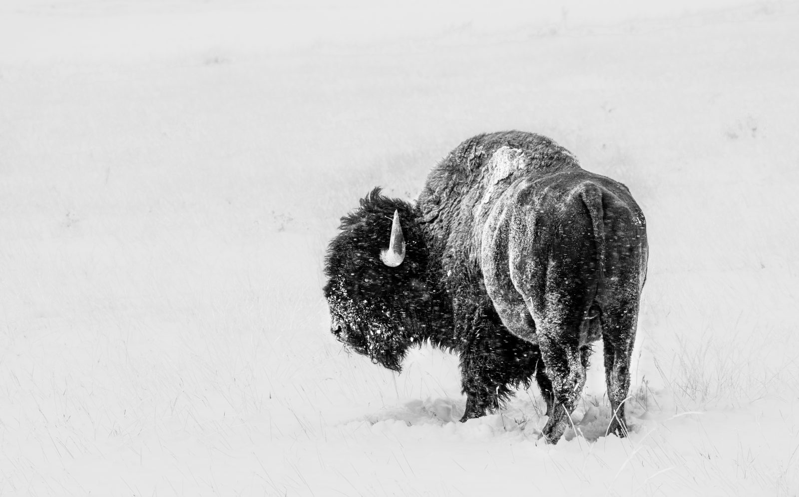 Buffalo in October Snow I