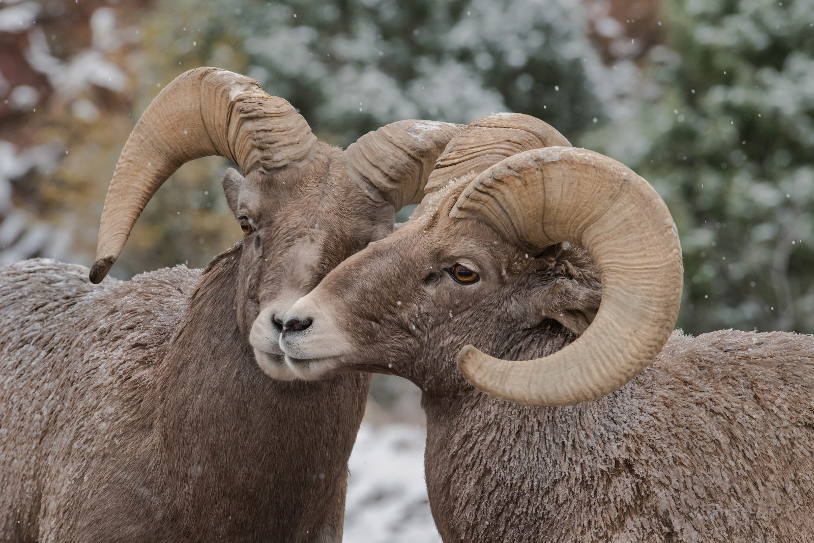 Rocky Mountain Bighorn Sheep Rams