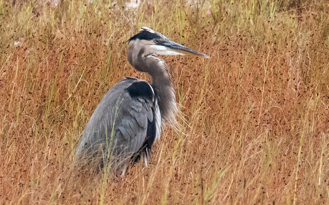 Great Blue Heron in the Autumn Grass