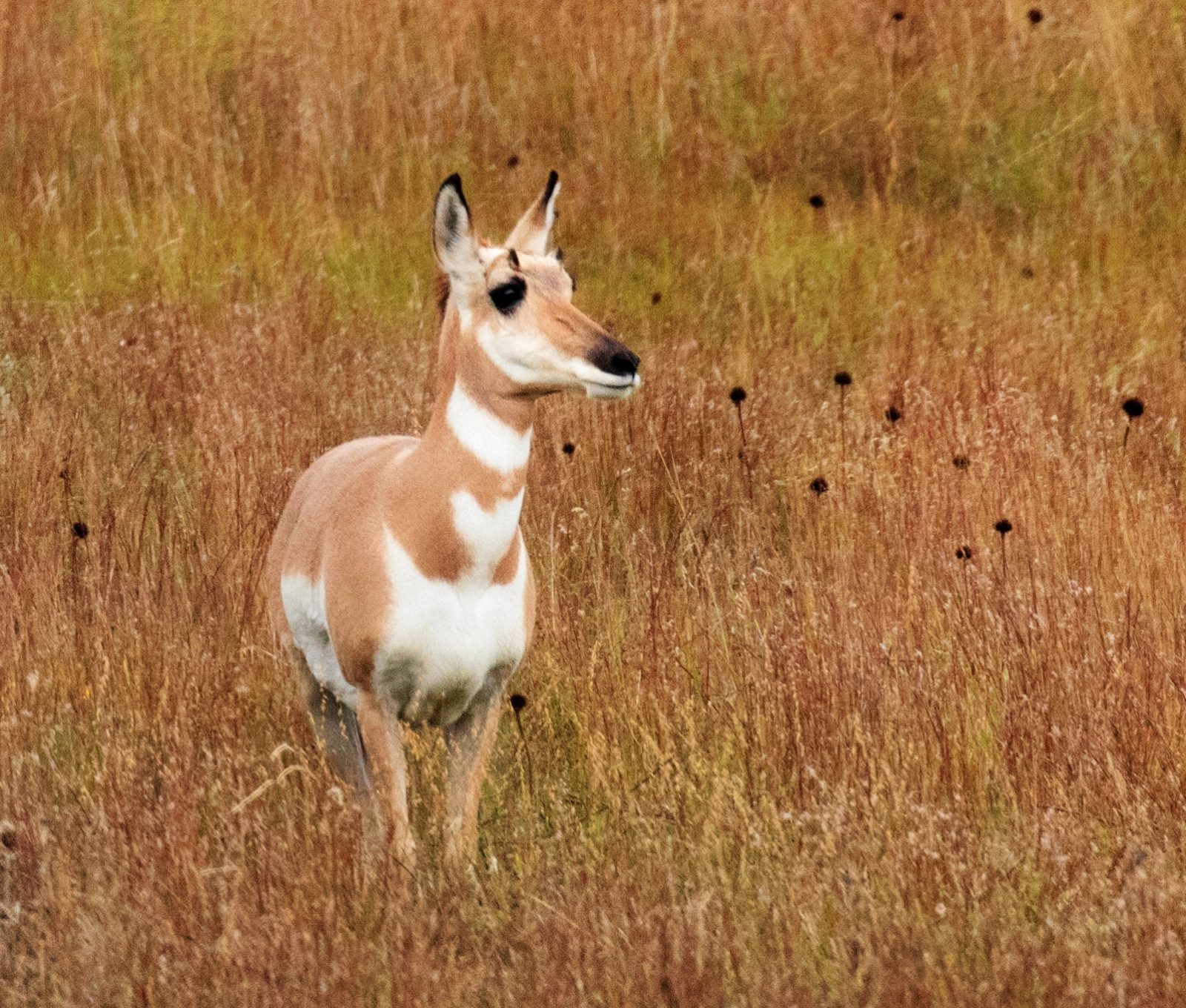 Pronghorn in the Autumn Grass