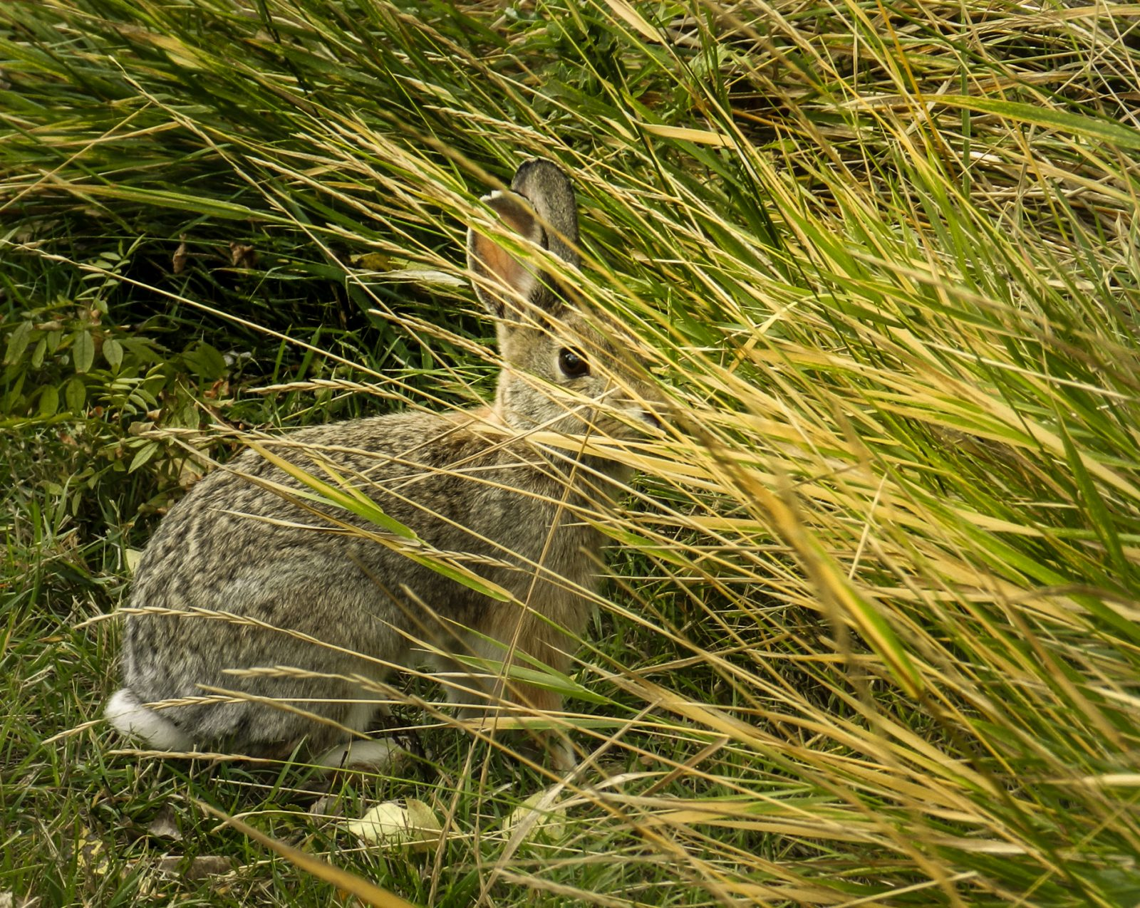 A Desert Cottontail in Early Fall
