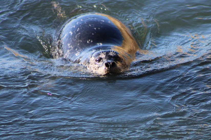 Seal on the move