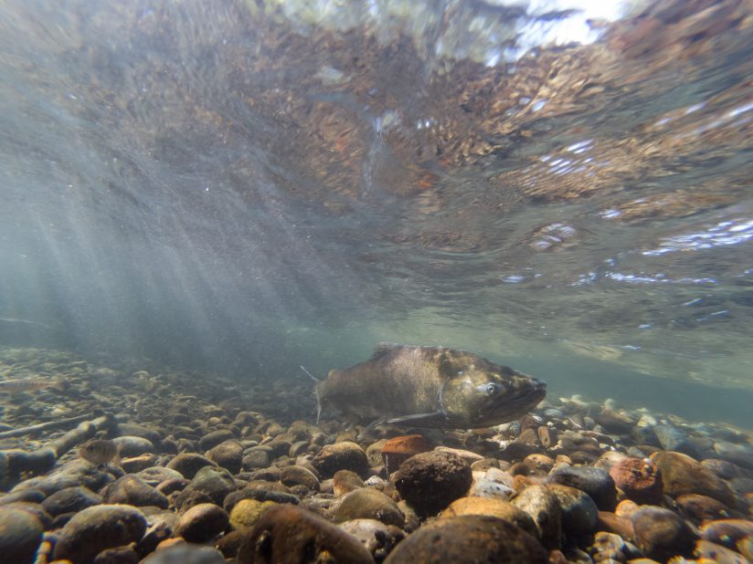 Wild Chinook Salmon Swimming In The Cedar