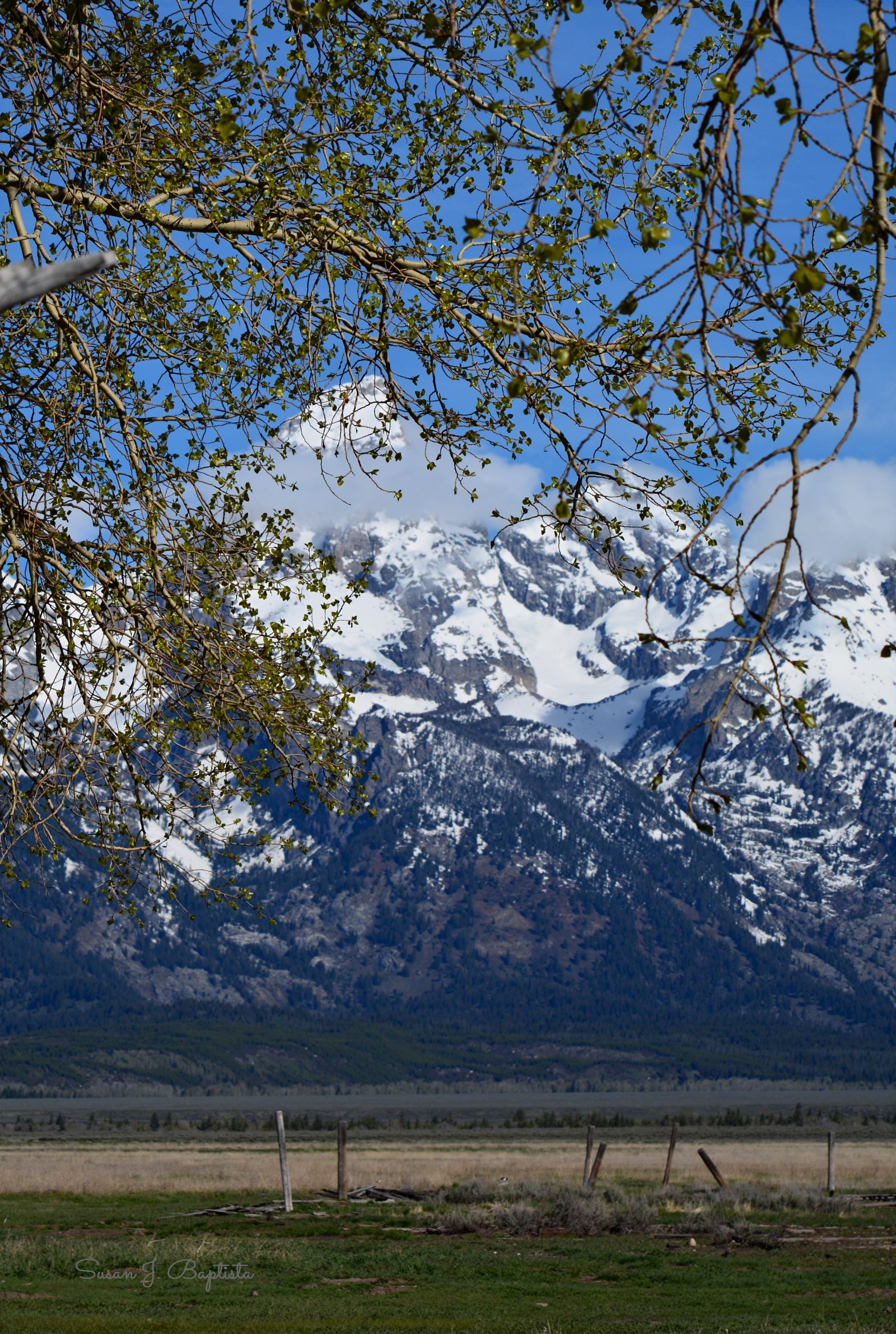 Tree Framed Tetons