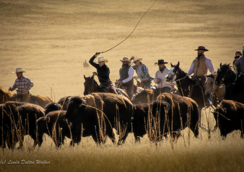 Using the Whip, Bison Roundup, Antelope Island, Utah