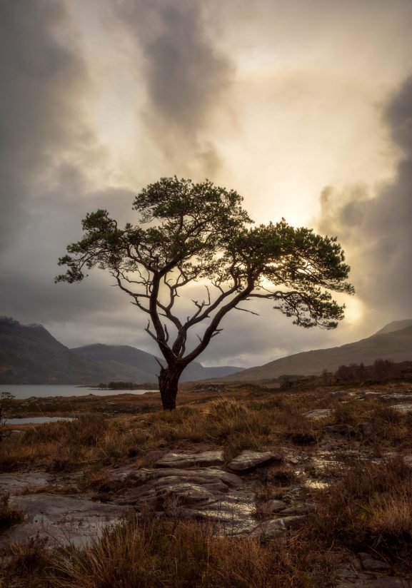Scots Pine on the Loch