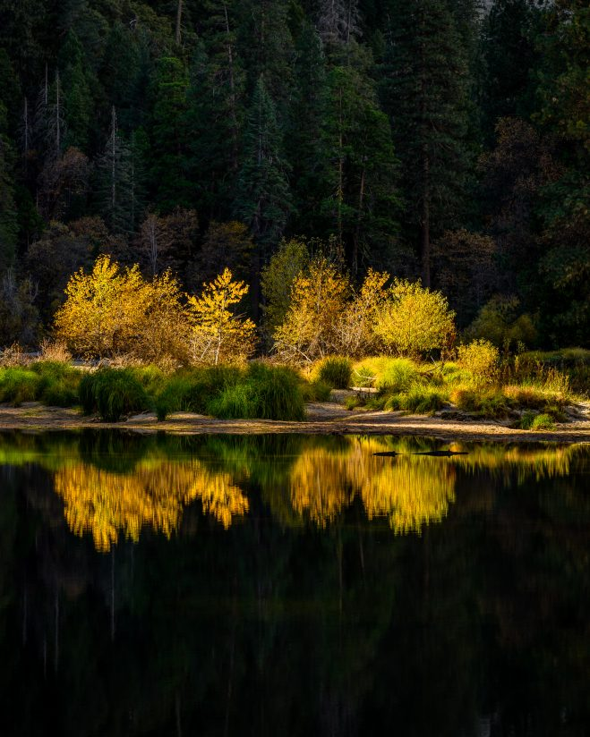 Fall Cottonwoods and Shadowed Pines Reflected